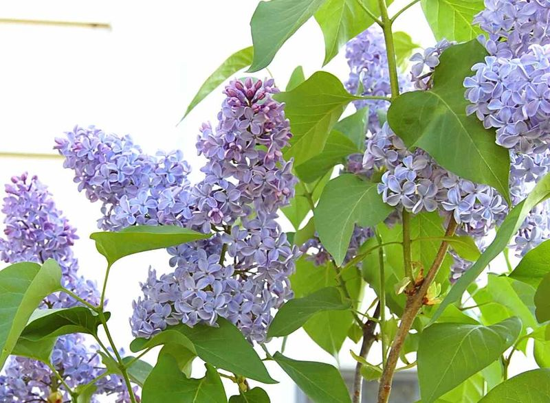 Lilacs09