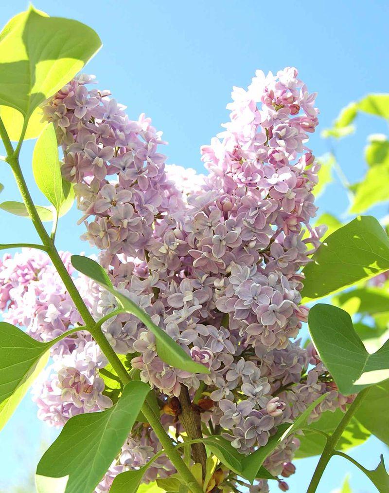 Lilacs10